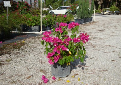 bougainvillea - Dwarf Helen Johnson