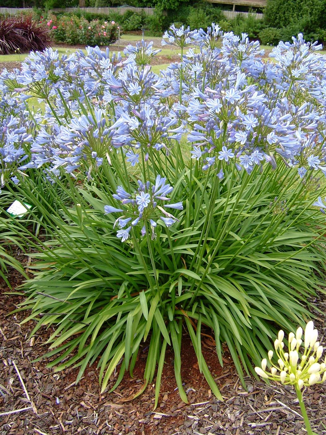 Picture of Live Semi-dwarf Lily of the Nile aka Agapanthus 'Queen Anne' Shrubs Plant Fit 1 Gallon Pot