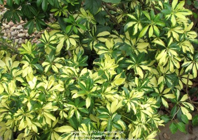 Arboricola (green & variegated)
